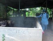 Quảng Ngãi chú trọng vệ sinh tiêu độc, gấp rút phòng chống dịch tả lợn châu Phi