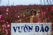 Những vườn đàođơm hoa từ vốn tín dụng chính sách