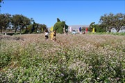 Hoa tam giác mạch tô sắc xuân phố núi Tây Nguyên