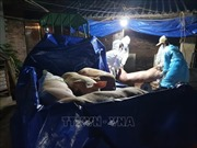 Hà Nội khó khăn huy động lực lượng tiêu hủy lợn mắc dịch tả châu Phi