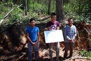 Làm rõ vụ phá rừng thông 50 năm tuổi ở Lâm Đồng