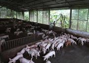 Bộ Nông nghiệp và Phát triển nông thôn khuyến cáo biện pháp chăn nuôi lợn sau dịch tả lợn châu Phi