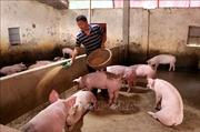 Từng bước tái đàn sau dịch tả lợn châu Phi