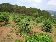 Hàng trăm ha rừng ở Lâm Đồng 'biến mất' do quản lý lỏng lẻo