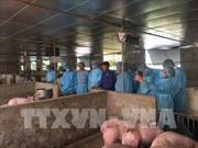 Hà Nội: Phòng để chống dịch tả lợn châu Phi tái phát