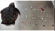 Hàng trăm mảnh nhựa trong dạ dày rùa con