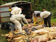 Tiêu hủy hơn 400 kg thịt lợn bị bệnh lở mồm long móng tại một lò mổ