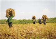 Lúa gạo đồng bằng sông Cửu Long rớt giá mạnh