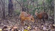 Phát hiện tại Việt Nam loài hươu chuột sau gần 30 năm nghi tuyệt chủng