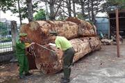 Khởi tố 3 đối tượng khai thác gỗ trái phép trong rừng phòng hộ