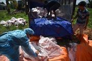 Gần 43 tấn thịt lợn nhiễm dịch tả châu Phi bị tiêu hủy