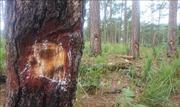 UBND tỉnh Đắk Nông chỉ đạo điều tra, xử lý việc bức tử rừng thông phòng hộ
