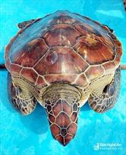 Ngư dân Nghệ An bắt được rùa biển quý hiếm nặng 8 kg