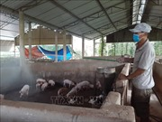 Dịch tả lợn châu Phi vẫn diễn biến phức tạp