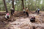 Trồng lại rừng thông tại khu vực bị phân lô bán nền trái phép ở Đà Lạt