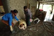 Xuất hiện gia súc có biểu hiện bệnh lở mồm long móng ở Điện Biên