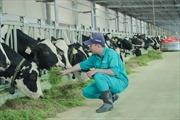 Tết tại 'resort' bò sữa Vinamilk có gì đặc biệt