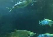 Người đàn ông vô tư khỏa thân bơi cùng cá mập trong bể trưng bày