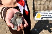 Indonesia tặng gà con giúp trẻ em 'cai nghiện' smartphone