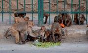 Video khỉ lấy cắp mẫu xét nghiệm COVID-19 từ tay nhân viên y tế Ấn Độ