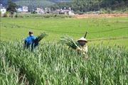 Làng hoa lay ơn lớn nhất cả nước vào giai đoạn nước rút phục vụ Tết