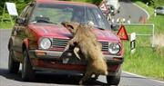 Lợn rừng băng qua đường gây tai nạn liên hoàn làm 11 người thương vong