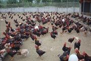 Chăn nuôi gà sạch thả đồi cho hiệu quả kinh tế cao ở Thanh Hóa