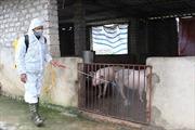 Long An xảy ra 19 ổ dịch tả lợn châu Phi