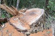 Xử lý nghiêm vụ khai thác trái phép gỗ Du Sam trong Khu Bảo tồn thiên nhiên Nam Nung
