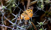 Kỳ thú cuộc đại di cư của loài bướm vẽ đến Anh