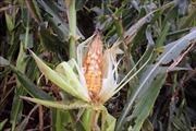 Giải pháp phòng, chống sâu keo mùa thu hại ngô