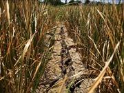Hạn hán kéo dài gây thiệt hại hơn 1.000 ha lúa tại Đắk Lắk