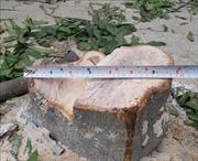 Cần làm rõ đối tượng chặt trộm cây xanh ở phườngĐại Mỗ, Hà Nội
