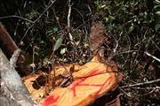 Thực hiện đóng cửa rừng tự nhiên - Bài 2: Vẫn xảy ra phá rừng, khai thác rừng trái pháp luật