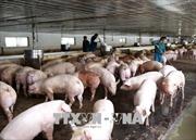Giá thịt lợn hơi đạt mức kỷ lục