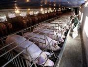 'Thủ phủ' chăn nuôi chủ động phòng chống dịch tả lợn châu Phi