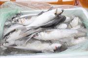 Tiêu hủy hơn 1 tấn cá đối đông lạnh nhập lậu từ Trung Quốc