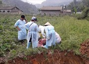 Xuất hiện 11 ổ dịch tả lợn châu Phi tại Cao Bằng