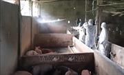 Dịch tả lợn châu Phi xuất hiện tại thành phố Long Xuyên, An Giang