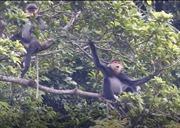 Quảng Nam sẽ thành lập khu bảo tồn voọc chà vá chân xám