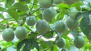 Lãi hàng trăm triệu đồng mỗi năm từ trồng chanh leo