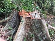 Mật phục, bắt quả tang 4 lâm tặc chặt phá rừng quy mô lớn tại Đắk Lắk