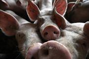 Nguy cơ tiêu hủy 1/4 số lợn trên thế giới do dịch tả lợn châu Phi