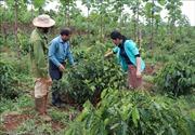 Nông nghiệp Tây Nguyên thích ứng với biến đổi khí hậu - Bài 2: Phát triển kinh tế nông lâm kết hợp