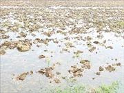 Trung du và Đồng bằng Bắc Bộ đã có nước gieo cấy vụ Đông Xuân