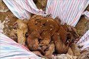 Xuất hiện ổ dịch tả lợn châu Phi đầu tiên tại Lai Châu