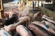 Quảng Bình dập dịch 'kép' lở mồm long móng và dịch tả lợn châu Phi