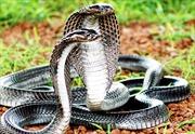 Bán 39 con rắn hổ mang chúa với giá 700.000 đồng/kg và cái kết