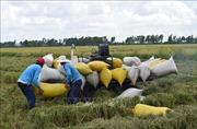Giá lúa xuống thấp, thương lái 'bẻ kèo' khiến nhà nông lao đao