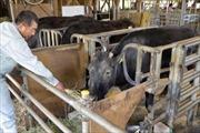 Con bò nhân bản vô tính đầu tiên trên thế giới đã qua đời